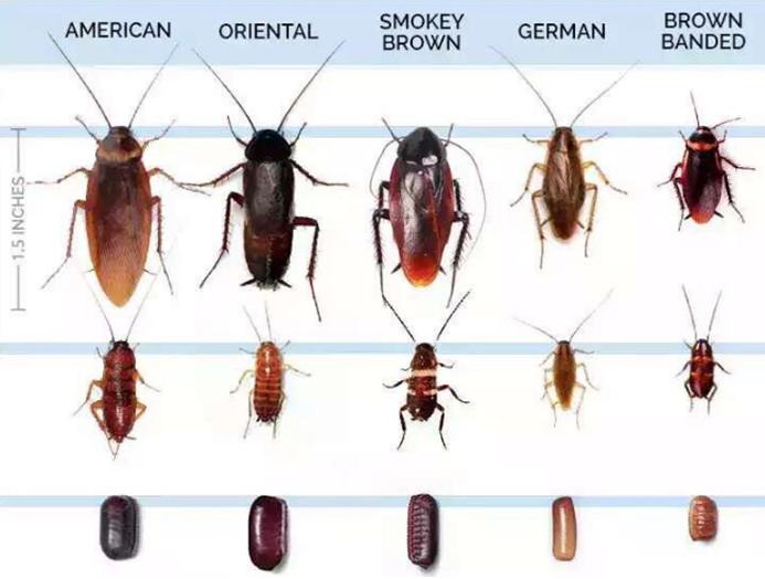 ดร.ปลวก -> ความรู้เกี่ยวกับแมลงสาบ | ดร.ปลวก